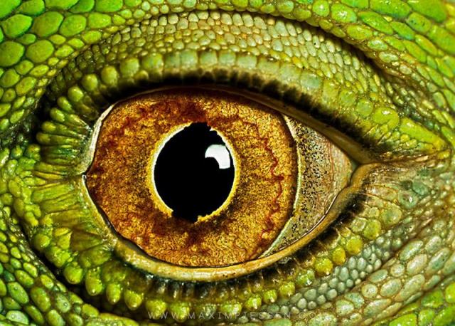 İguana Gözü