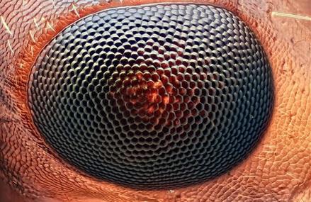 Karınca Gözü