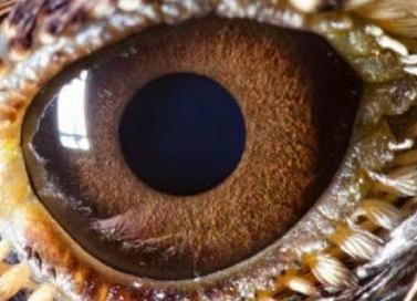 Serçe Gözü