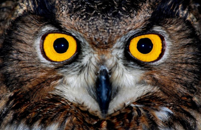 Baykuş Gözü