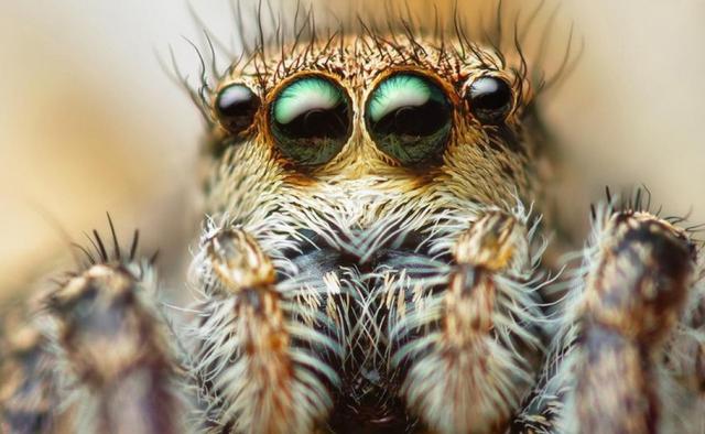 Sıçrayan Örümcek Gözü