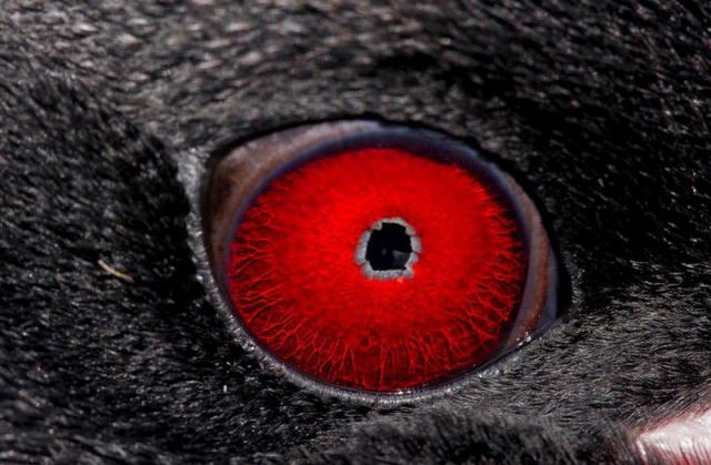 Makaroni Pengueni Gözü
