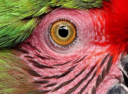 Papağan Gözü