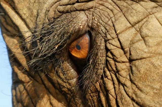 Fil Gözü