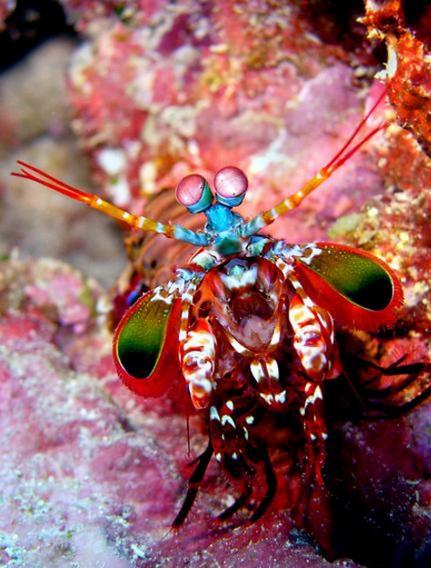 Mantis Karidesi Gözü