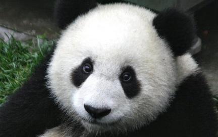Panda Gözü