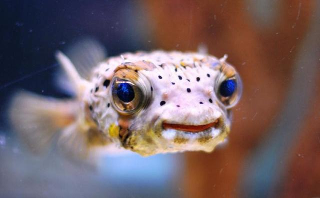 Kirpi Balığı Gözü