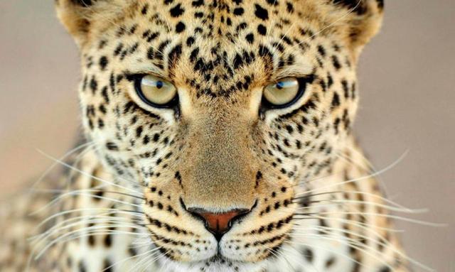 Leopar Gözü