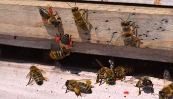 Bu arılar Galatasaray taraftarlarından ilgi görüyor