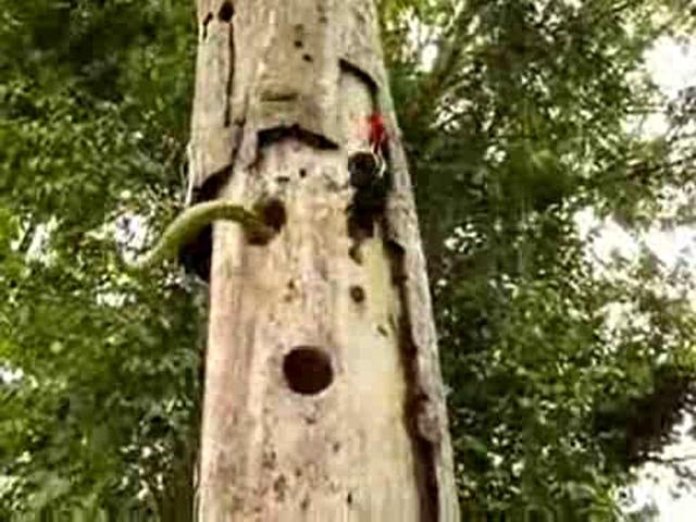 Pes Etmeyen Ağaçkakan