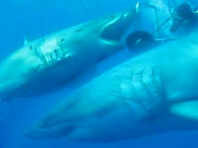Görülen en büyük köpekbalığı!