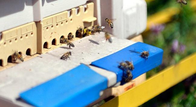 Sokmayan iyi huylu arı yetiştirildi