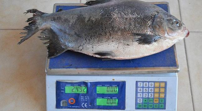 2,5 kilogram ağırlığında pirana yakalandı