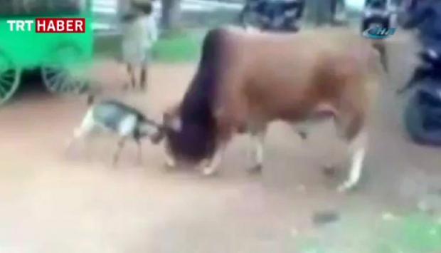 Keçi inadı koca boğayı işte böyle yıldırdı