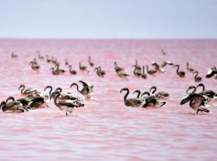 Tuz Gölünde flamingo cenneti
