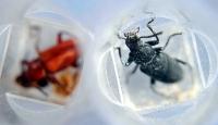 Böcekler Cinayetleri Çözüyor!