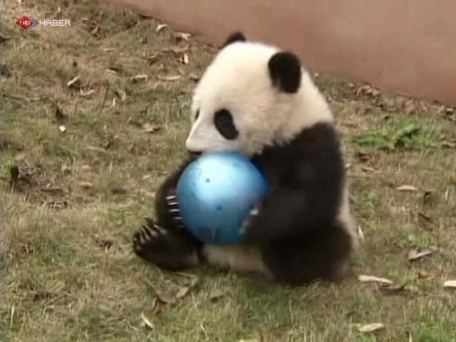 Afacan Pandaların Oyun Keyfi