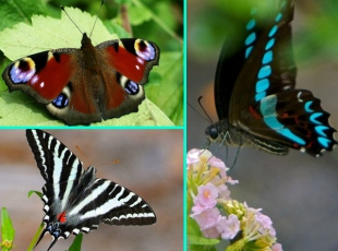 Göreceğiniz en güzel kelebekler