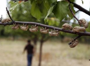 Cırcır böceklerinden geriye kalanlar