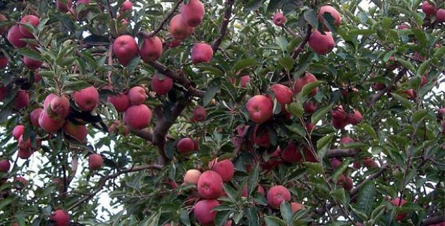 Yahyalı elması dallardan sarkıyor
