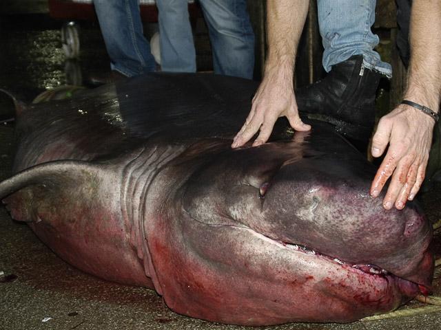 Marmarada dev köpekbalığı