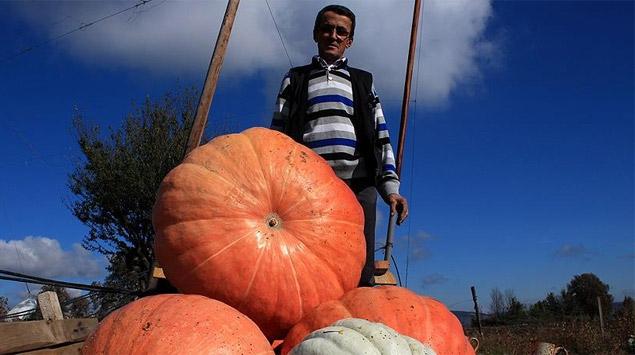 65 kilogramlık bal kabakları yetiştiriyor
