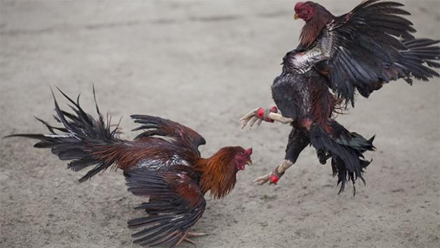 Meksikada horoz dövüşü kana bulandı