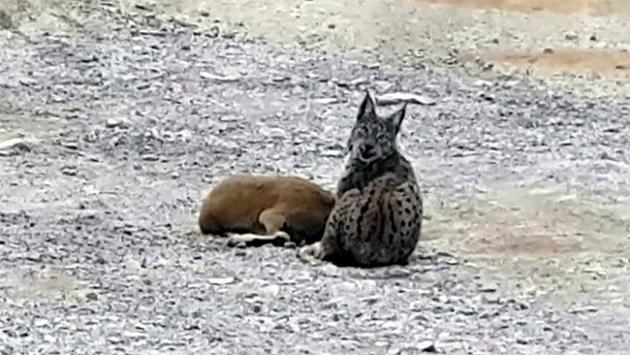Vaşağın dağ keçisine saldırı anı görüntülendi