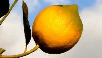 Limonlar Dalında Kaldı