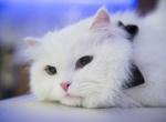 "En güzel ""Ankara Kedisi"""