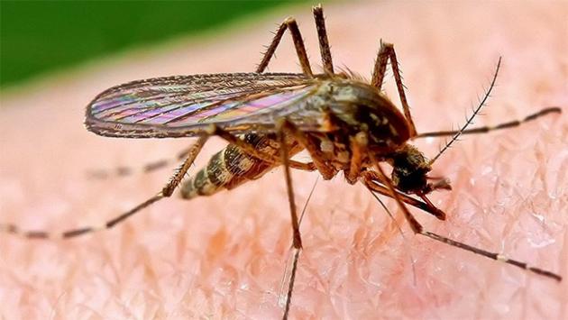 Sivri sineklerin genetik yapısını değiştirdiler