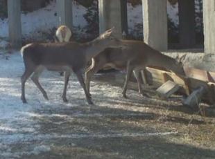 Kızıl geyiklerin sayısı artıyor