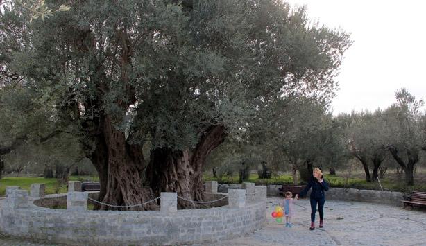 """""""En yaşlı zeytin ağacı Hz. İsa ile yaşıt olabilir"""""""