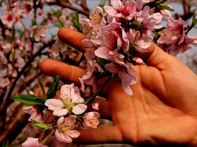Nektarinler çiçek açtı