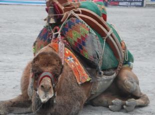 Güreşemeyen deve sucuk oluyor
