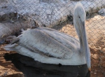 Yaralı pelikan Burdurda tedavi altına alındı
