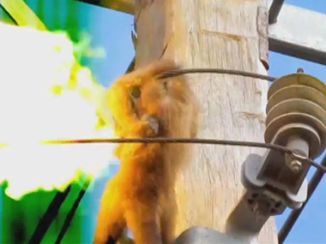 Trafoda Maymunu Elektriğin Çarpma Anı