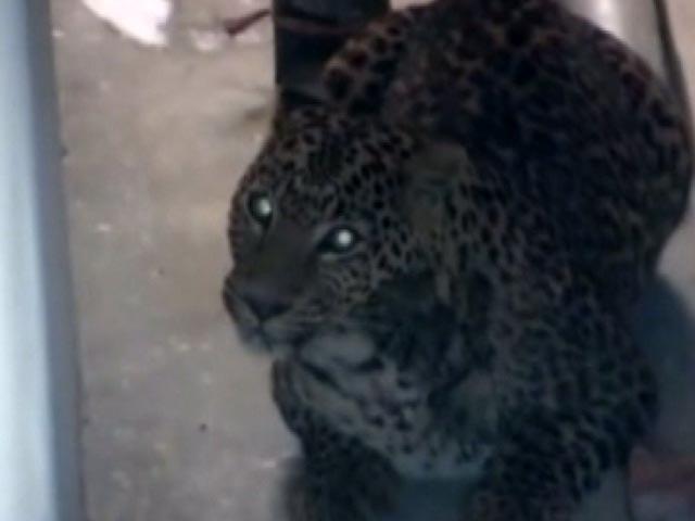 Yine leopar yine Hindistan!