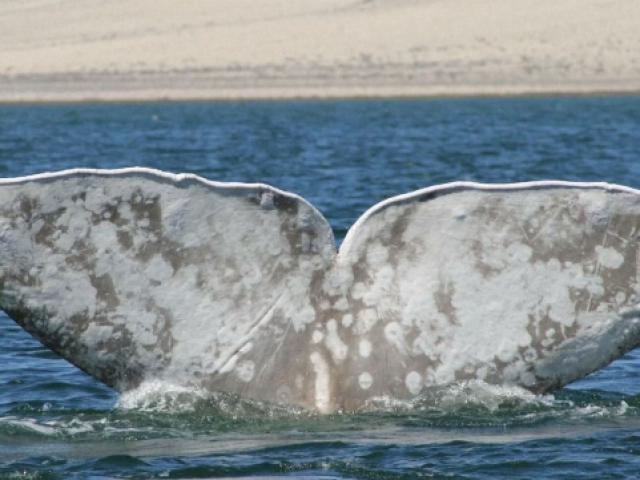Bu balinan türünün nesli büyük bir tehdit altında