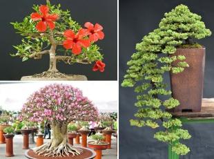 22 harika bonsai türü