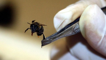 Kansere karşı arı zehri önerisi