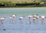 Burdurda 5 bin flamingo