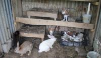 Tavşan yavrularını güvercin sahiplendi