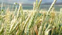 Suudi Arabistanın buğdayı Avrupa, ABD ve Avustralyadan