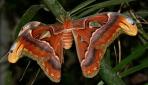 İşte dünyanın en büyük kelebeği