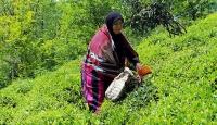 Yaş çayda birinci sürgün hasadı başladı