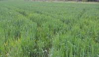 Sivasta buğday üretiminde büyük hasar