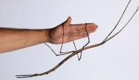Dünyanın en uzun böceği Çinde