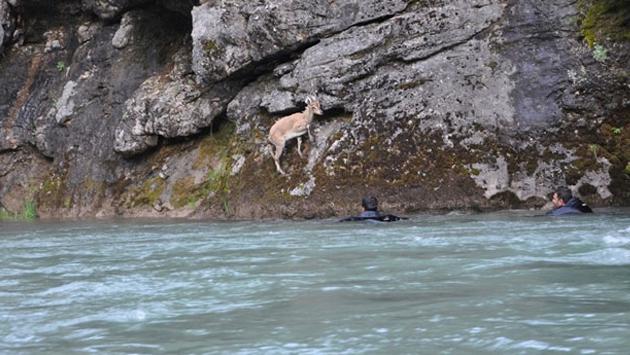 Nehir kıyısında mahsur kalan keçiyi dalgıçlar kurtardı