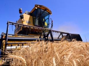 Çukurovada buğday hasadı başladı